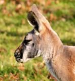 Kangaroos and Wallabies