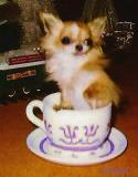 Original Teacup Chihuahua