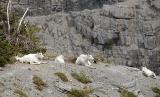 Lazy Mountain Goats