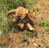Fox Pups at Play