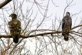 Juvenile Eagles