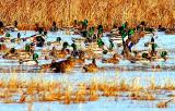 Arrival of the Mallards