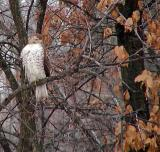 Red Tail in Winter