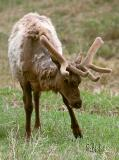 New antlers