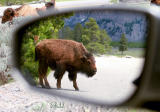 Bison Everywhere