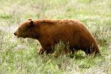 classic Black Bear profile