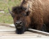 Bison on Board