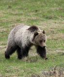 Grizzly Bear Walk