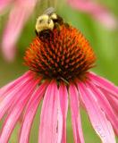 Bee on a Shasta Daisy