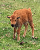 Springtime means Baby Bison