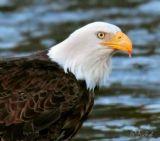 Eagle After Sundown