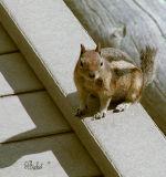 Golden-mantel Ground Squirrel