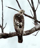 Red Tail of another Color