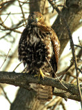 Another Redtail