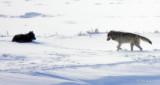Wolves Before Dusk