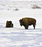 Bison winter the Lamar