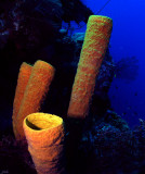 Tube Sponge on the Turneffe Atol Wall
