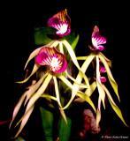 Black Orchid 2