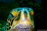 Gentle And Curious Green Turtle