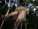 The North Mountain Tree People (2)
