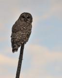 Barred owl (part II)