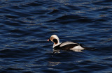 Long tailed duck - winter plumage