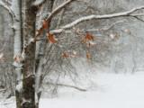 Windblown snow and oak