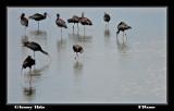 Glossy Ibis.jpg