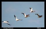 Flying Pelicans.jpg
