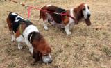 Elderly Beagle Hounds