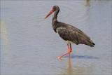 Black Stork.jpg