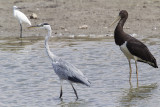 Grey Heron and Black Stork.jpg