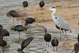 The Grey Heron with Glossy Ibis