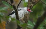 Masked Tityra (Tityra semifasciata) male