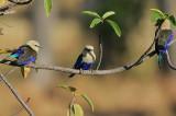 Blue-bellied Rollers (Coracias cyanogaster)