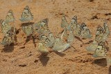 Brown-veined white Butterflies  (Belenois aurota) on wet mud