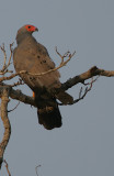 African Harrier-Hawk Polyboroides typus adult 3.jpg