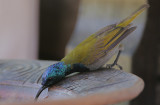 Green-headed Sunbird (Nectarinia verticalis) male