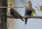 Blue-bellied Roller (Coracias cyanogaster) pair