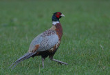 Pheasant in the rain