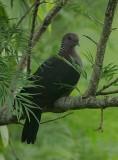 Sri Lanka Wood Pigeon (Columba torringtoni)