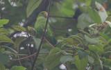 Sri Lanka Hanging Parrot (Loriculus beryllinus)