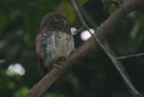 Chestnut-backed Owlet  (Glaucidium castanonotum)