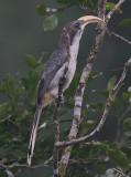 Ceylon Grey Hornbill (Ocyceros gingalensis)