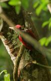 Crimson-backed Flameback (Chrysocolaptes stricklandi)