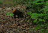 Golden-rumped Sengi foraging