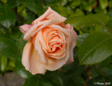 Irish Rose.