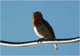 Robin singing.
