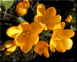Yellow Crocus 1.