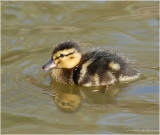 Duckling, a sign of Spring
